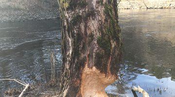 Bild 1 till artikel om bävrar i Säveån